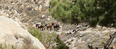 Transport-Esel auf Santorin. (Foto: ruti)