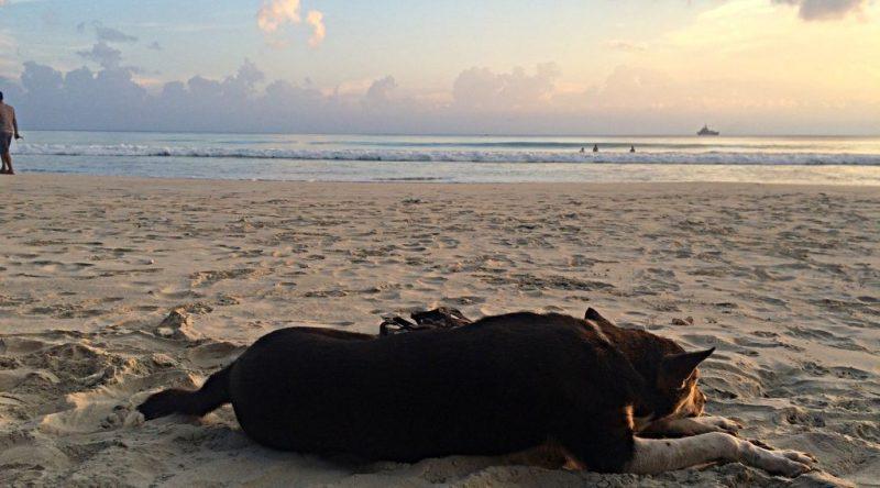 Wenn man auf Havelock ist, sind Strandhunde ständige Gefährten. Aber die chillen auch gern. (Foto: ruti)
