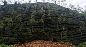 Tee- und Gewürzplantagen prägen die Landschaft in den Kardamom-Hügeln Südindiens. (Foto: ruti)