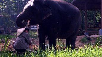 Dieser Elefant erfreut sich einer Dusche auf Koh Samui. (Foto: ruti)