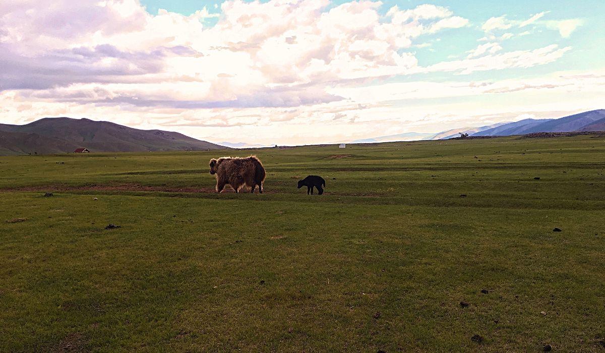 Eine Yak-Mama mit ihrem Jungen in der Zentral-Mongolei. (Foto: Ruti)
