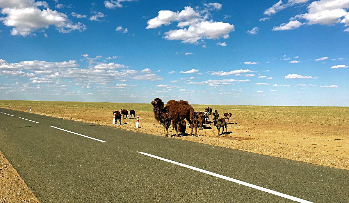 Auf dem Weg durch die Mongolei begegnet man öfter mal Kamelen. (Foto: Ruti)