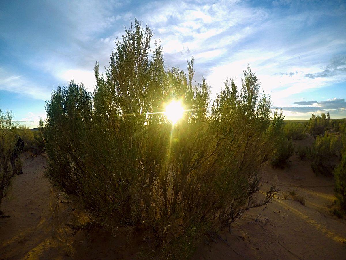 Die kleine Version eines Gobi-Baums in der mongolischen Sonne. (Foto: Ruti)