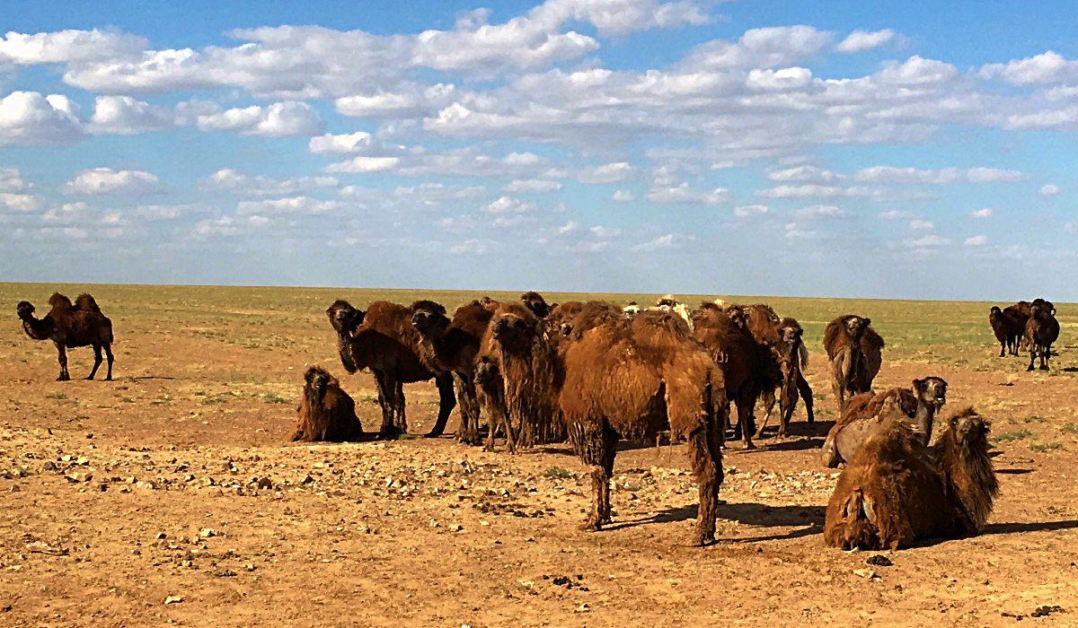 Die Kamele in der Mongolei behielten uns stets im Auge. (Foto: ruti)