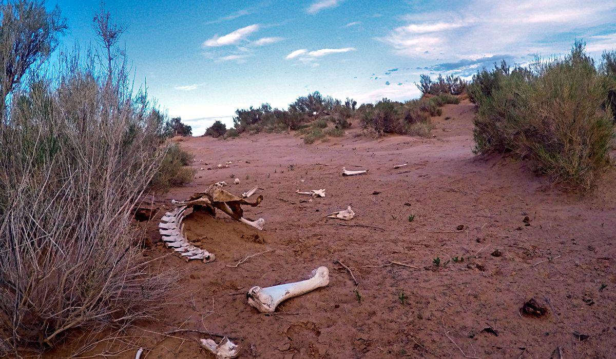 Unweit der flammenden Klippen, wo die Gobi-Bäume wachsen, lagen jede Menge Tier-Knochen herum. (Foto: Ruti)