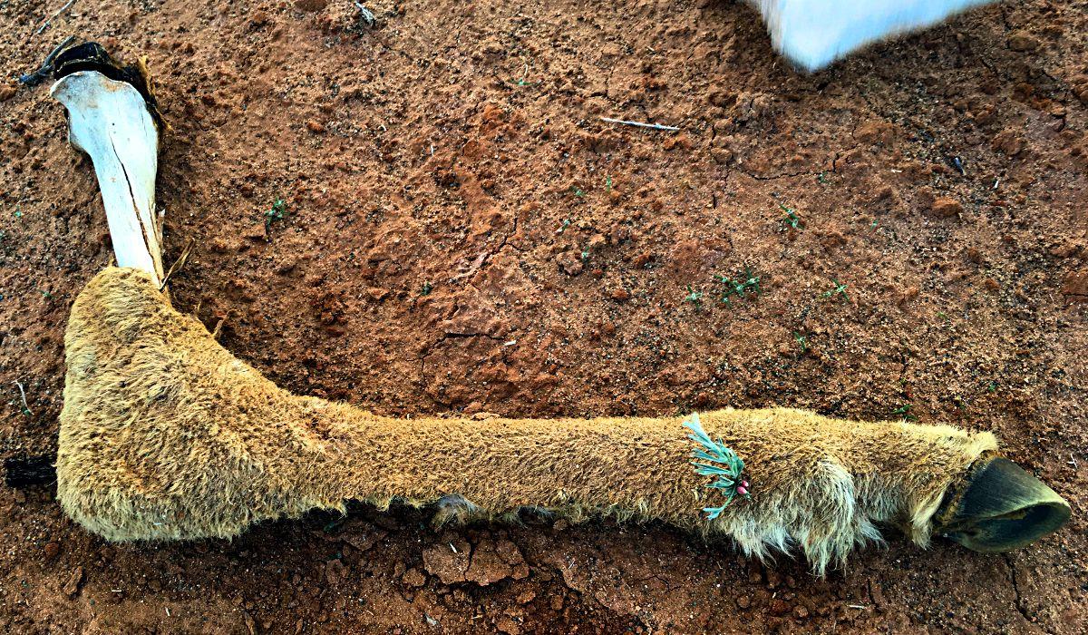 Auf einem Ziegenbein wächst ein kleine Blume - so ist sie, die Natur. (Foto: Ruti)