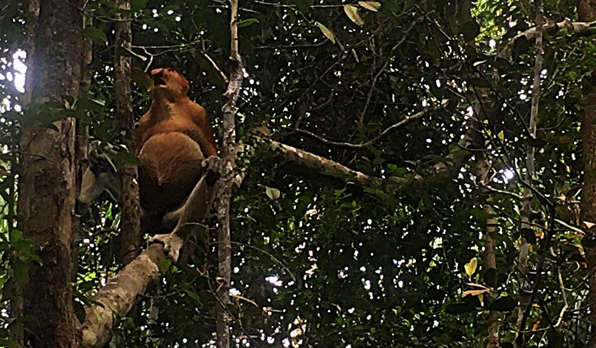 Die Nasenaffen sind die Stars des Bako-Nationalparks auf Borneo. (Foto: ruti)
