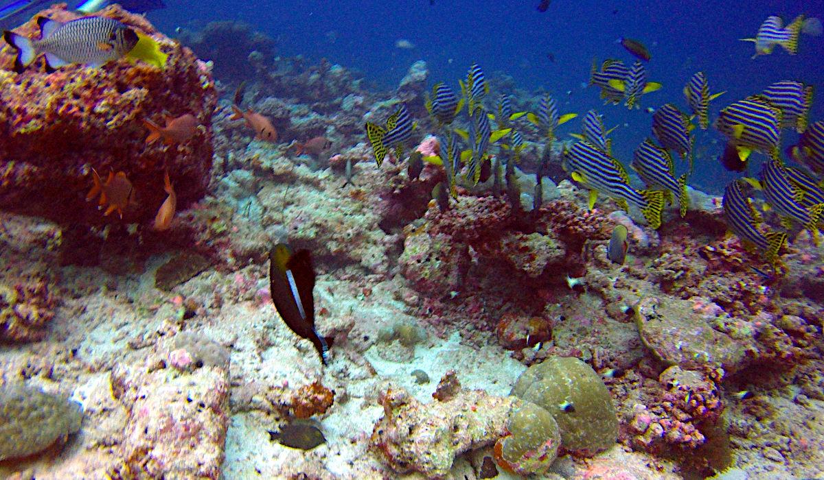 Die von Korallenbleiche gezeichnete aber immer noch herausragende Unterwasserwelt der Malediven. (Foto: Ruti)